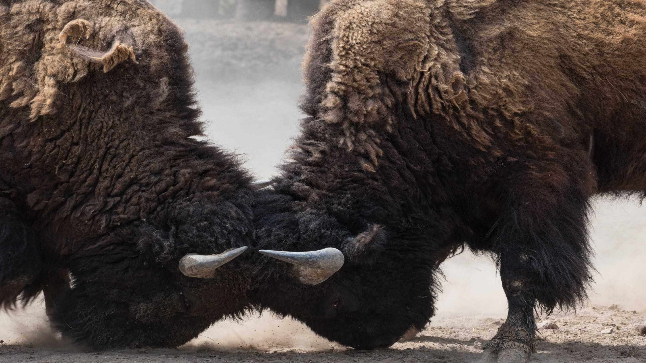 Zwei Büffel kämpfen