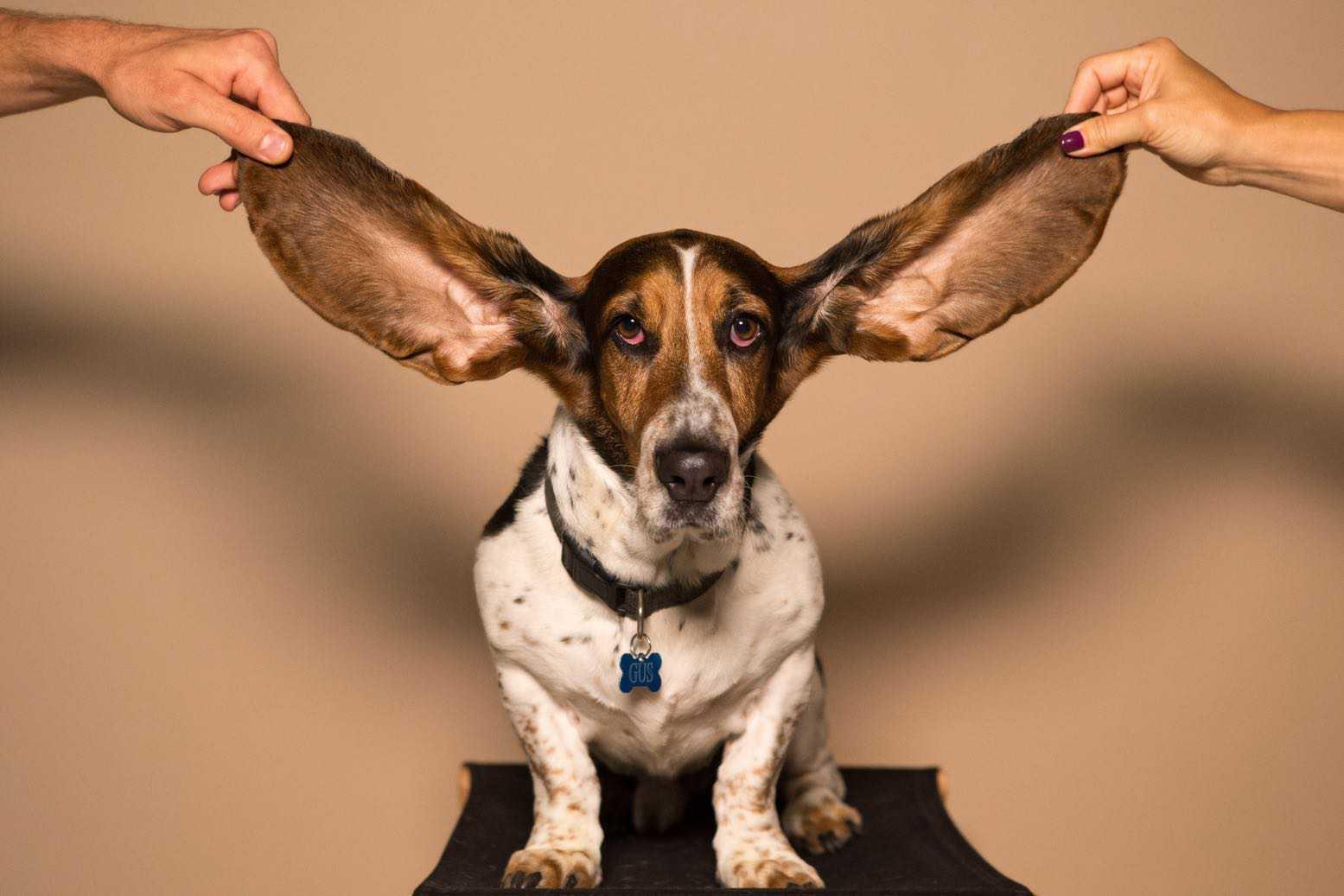 Hund Ohren Gehör Anhörung Recht auf Gehör